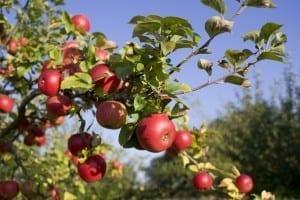 Apples-300x200