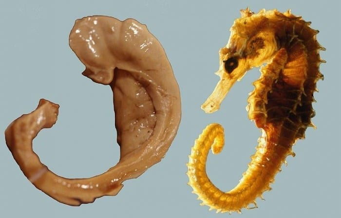Hippocampus_and_seahorse_cropped