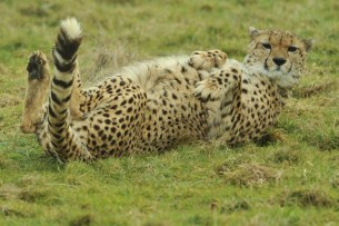 A typical cheetah, laying on its back.