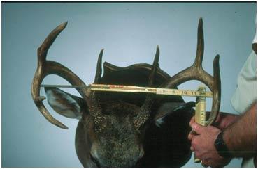 Measureing Inside Spread of Deer Antlers