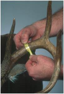 Measuring Circumferences on Deer Antlers