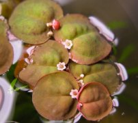Phyllanthus Fluitans - (Red Root Floater)