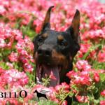 Altobello dobermann kennel