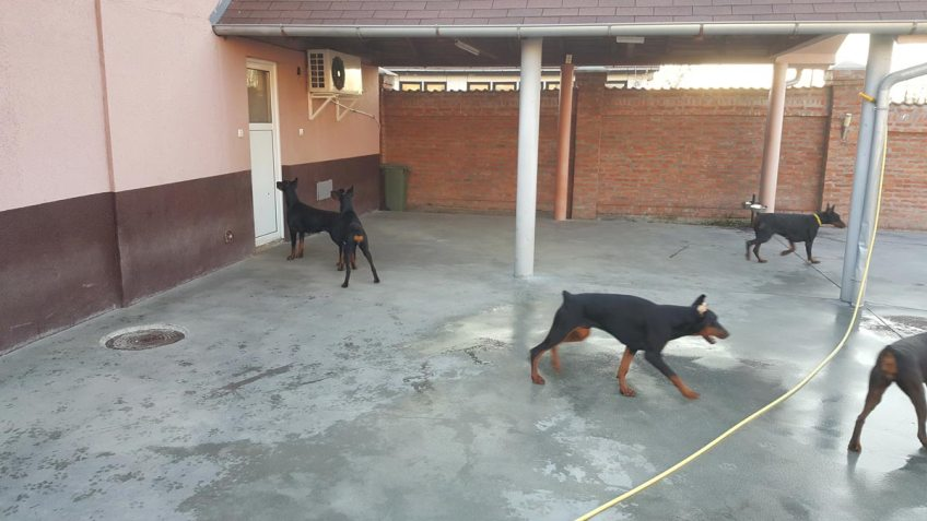 Betelges Dobermann Kennel