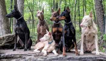 The Doberman Pinscher: A Complete Breed Overview
