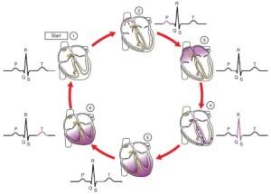 ciclo do eletrocardiograma