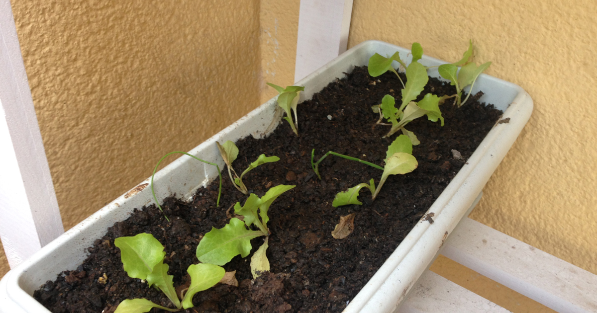 Suficiente Cultivo de alface em apartamento DI35