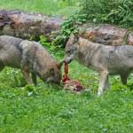 Repas des loups
