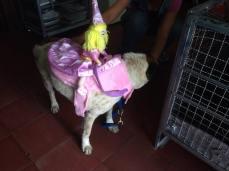 Perro disfrazado de corcel de la princesa