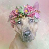 Los pitbulls son dóciles foto: Sophie Gamand