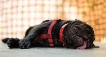 Un animal con golpe de calor se ve desanimado y decaído. Foto: nosolomascotas.com