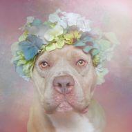 El pitbull es un perro obediente, no es complicado de adiestrar. Foto: Sophie Gamand