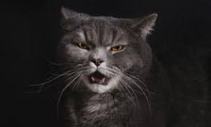 La agresividad en los gatos Foto:www.culturacolectiva.com