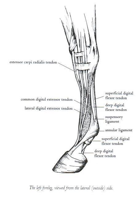 Suspensory Ligament Archives - David Ramey, DVMDavid Ramey, DVM