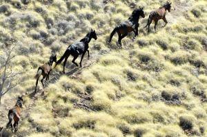 australian horses