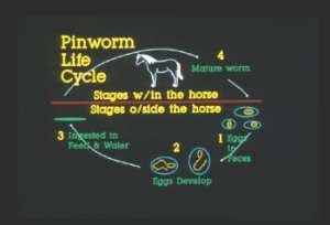 Pinworm.LifeCycle