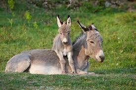 MiniDonkey foal