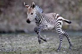 Zebra-foal.jpg