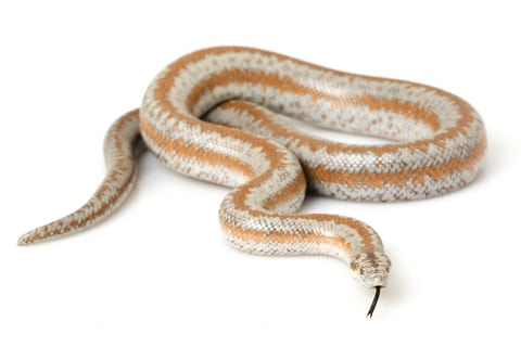rosy-boa-for-sale-1.jpg