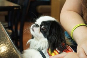 Black and white, 8 lb Japanese Chin Hestia lies in Veronica's lap.  She is wearing a green vest with a red stop sign patch and a yellow in training tab.