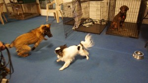 Journey, a 16 week old Belgian Turvuren and Hestia (half his size or less!) playing