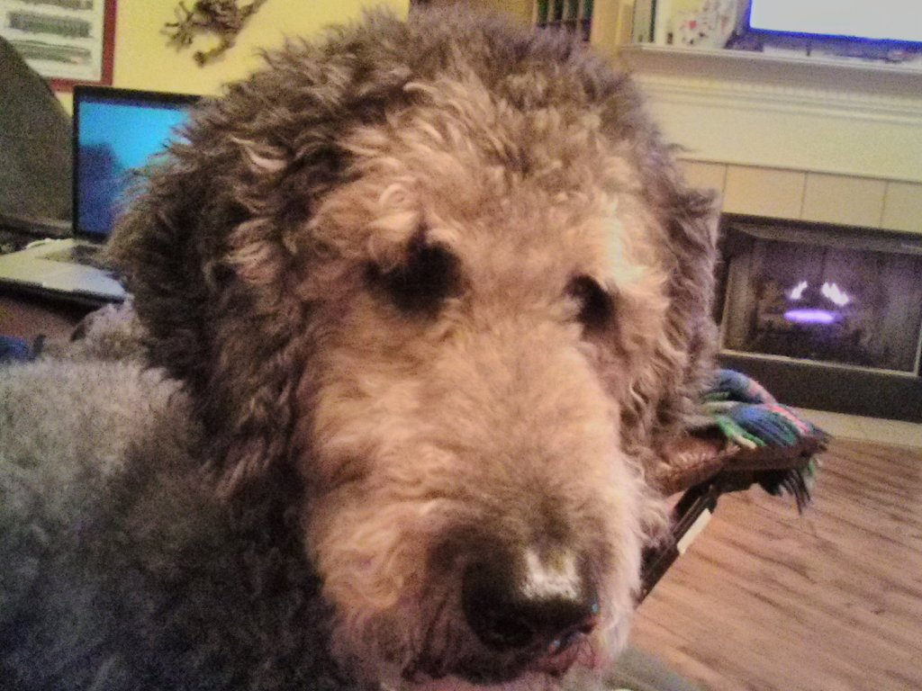 Closeup of silver standard poodle in need of a haircut!