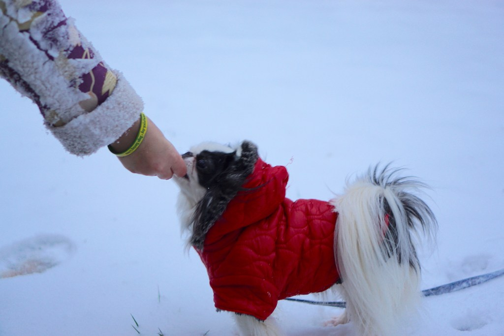 Hestia in her red coat on a background of snow, Veronica's hand feeding her a treat.