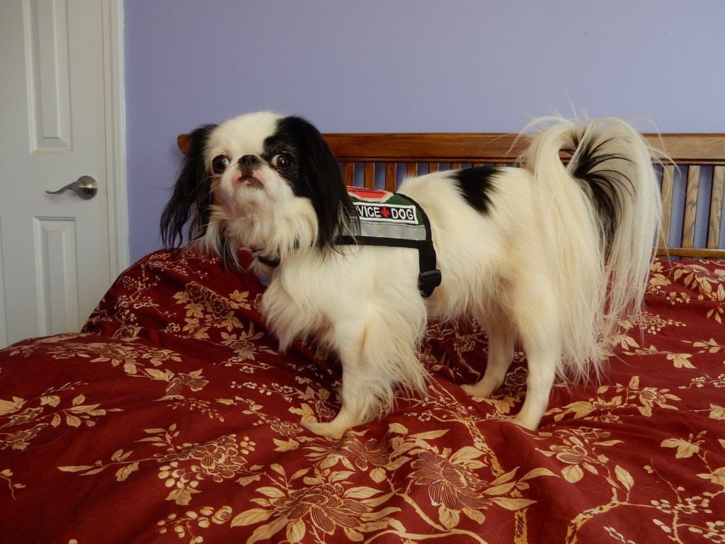 """Hestia in the green vest with new patch that says """"SERVICE + DOG"""""""