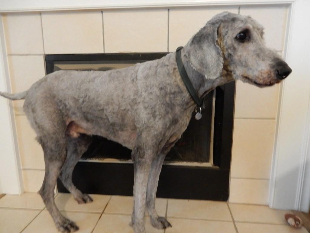 Silver standard poodle shaved down