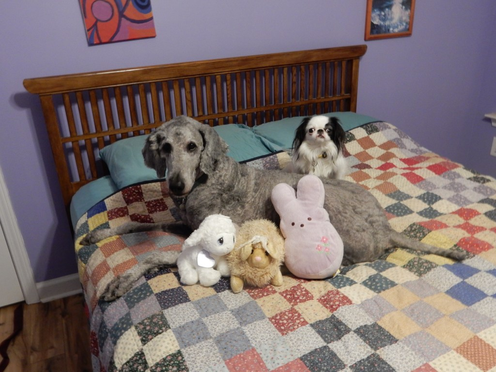 A shaved silver poodle, Ollie, with Hestia a small black and white dog and the Bun-Lamb Fam.