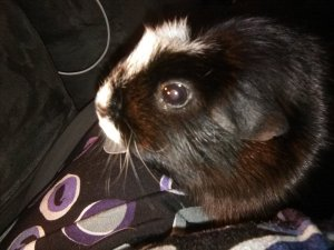 A black guinea pig with a white line down the middle of her face, ending in a rosette on her forehead.
