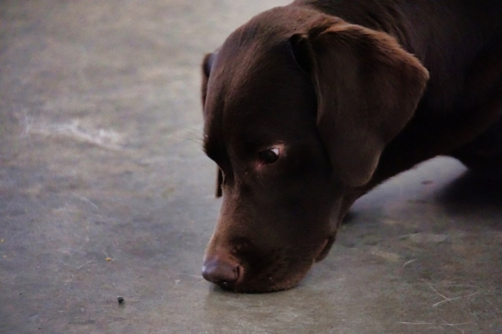 Chocolate lab staring at a treat on the floor