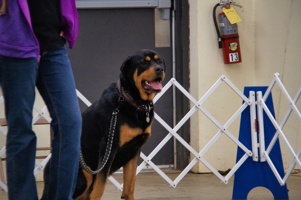 A Rottie sits calmly by his handler's side.