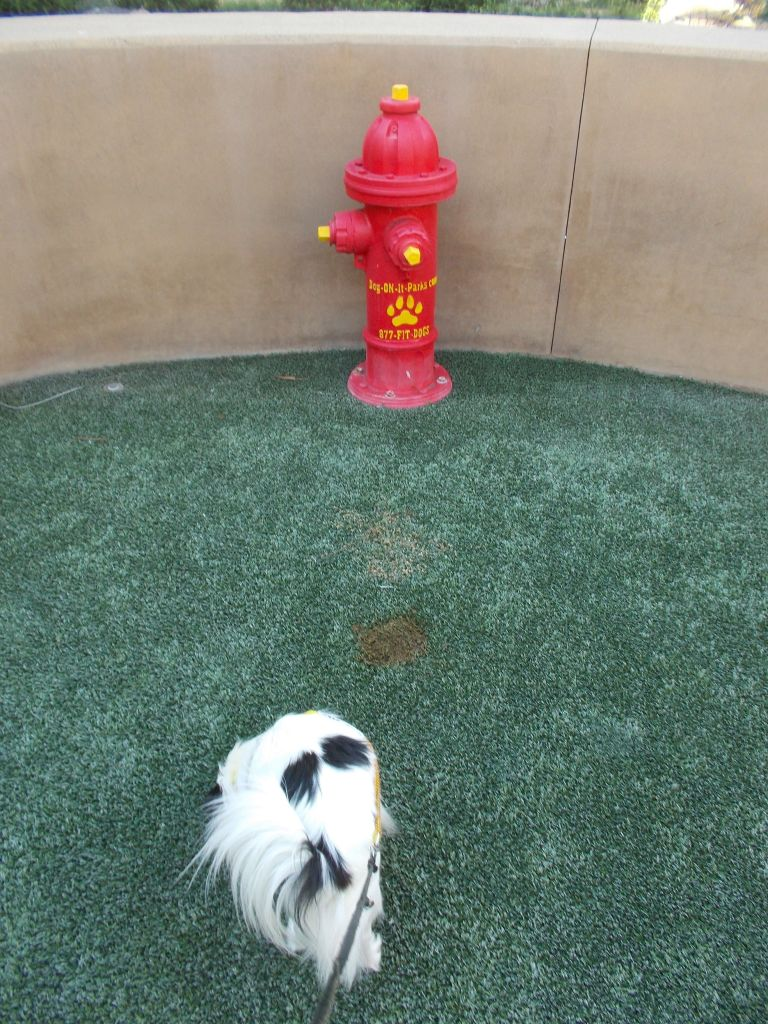 Inside the outdoor San Diego airport SARA.  It is a circular space of fake grass with a plastic fire hydrant. The area is enclosed with a waist-high beige wall made of either concrete or stucco.  Hestia sniffs the ground next to a large poop stain from a previous dog having had loose stools.