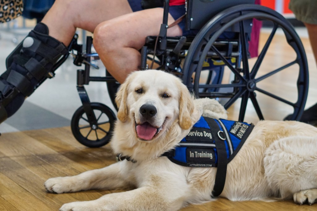Tripper is lying on the ground next to Barbara's wheelchair, giving a great Golden smile at the camera!