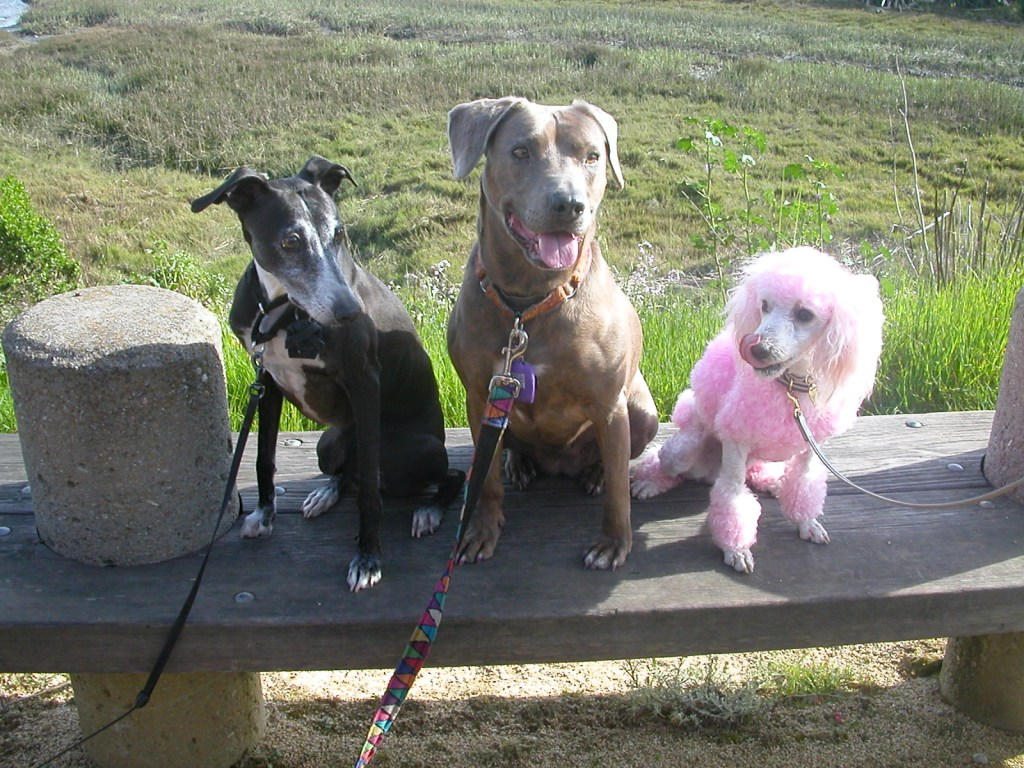 Saki (Italian Greyhound), Sabrina, and a pink-dyed Snowy hang out together.  These were Sabrina's best friends.
