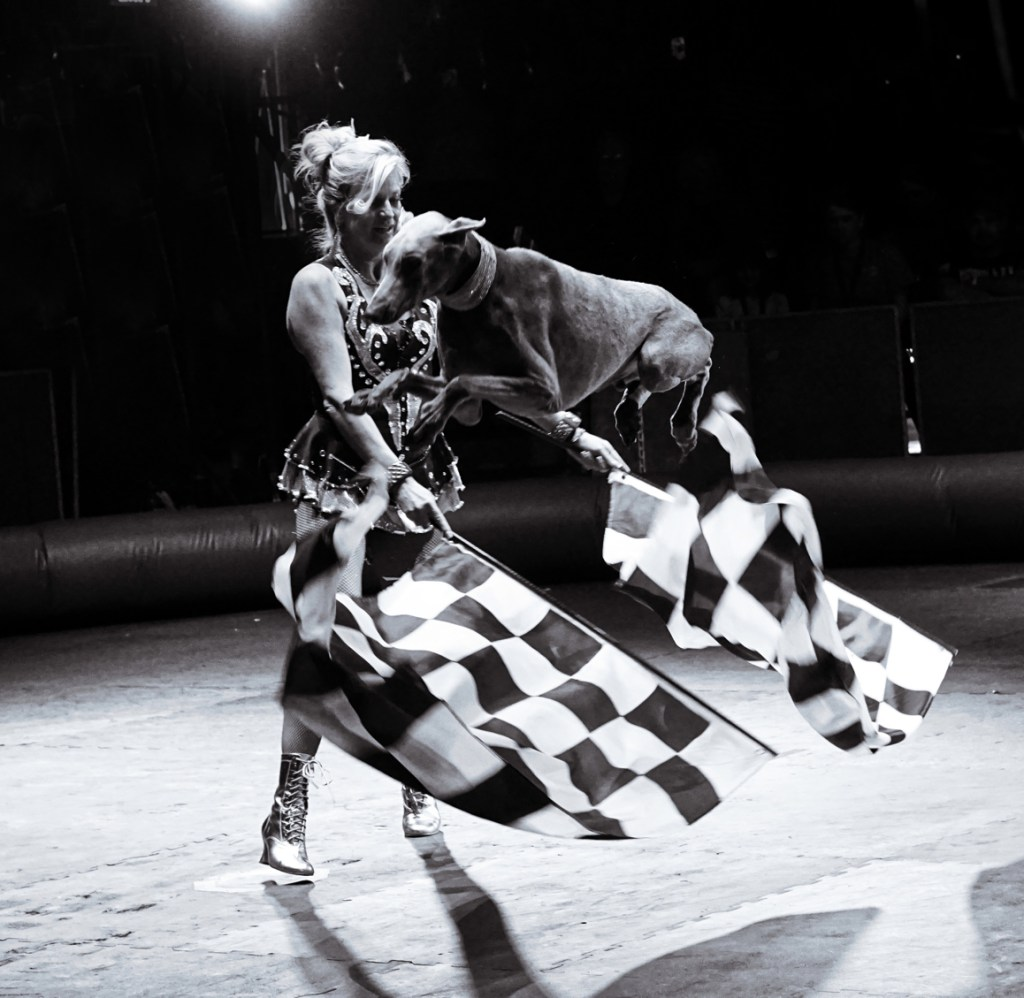 A Doberman in mid-air jumping over some checkered racing flags that the woman is waving.