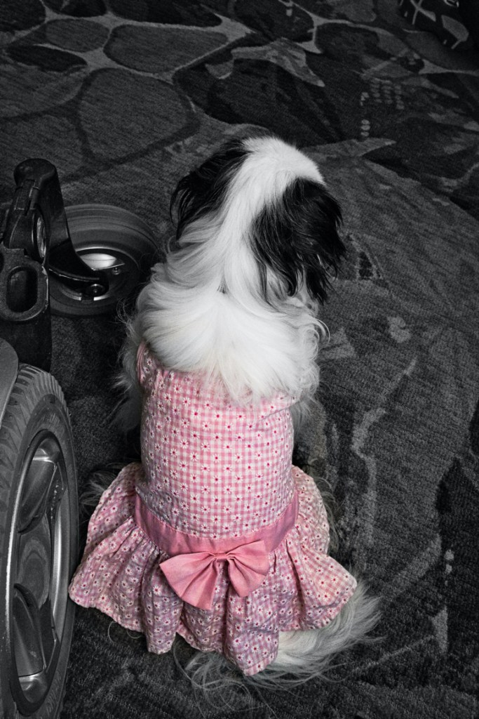 A mostly black and white photo of a Chin wearing a pink (in color) dress sitting next to Brad's wheelchair.