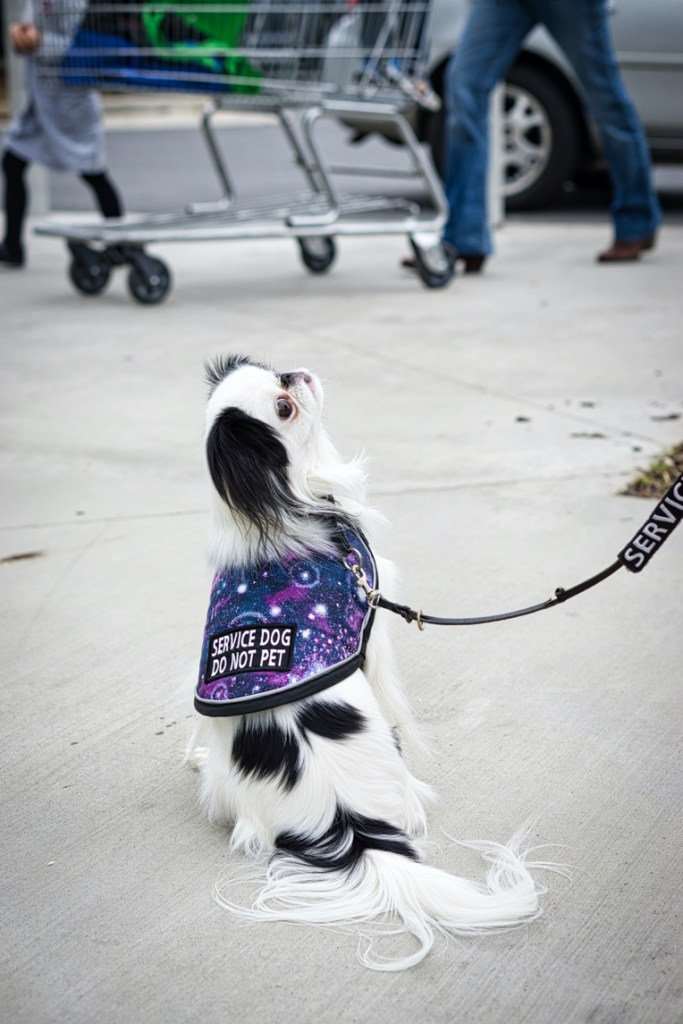 "Hestia's back is to the camera, and she looks up and to the right at Veronica (off camera) as someone walks a cart by in the background.  You can see her galaxy vest with ""service dog do not pet"" on the back."