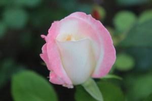 rose_ogura04