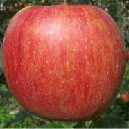 サンふじりんご