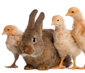 Chicks and Rabbits