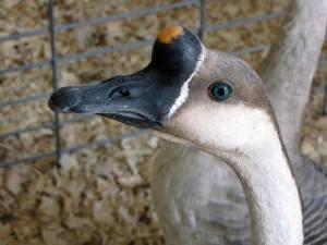 Geese Junior Fair