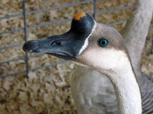Geese showing off in the Junior Fair at the Dodge County Fair