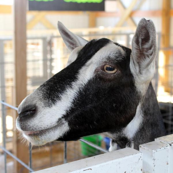 Junior Fair Goat Judging
