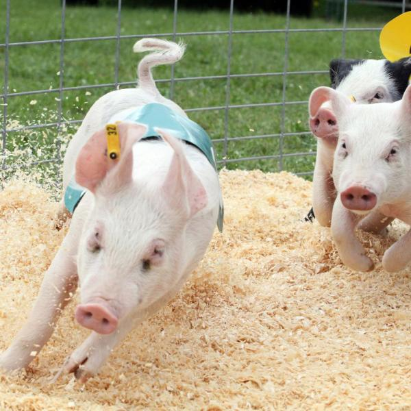 Pig, Duck and Goat Races on S Fairview Road