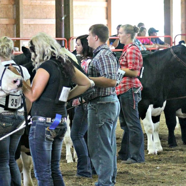 Junior Fair Market Beef and Showmanship Judging