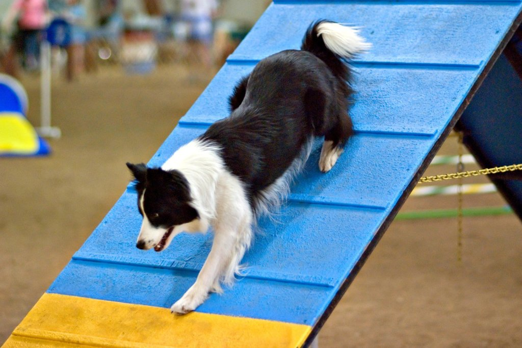 junior fair dog performance show