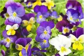 planting pansies in pots  pansies in winter  are pansies perennials  what to do with pansies after flowering  when to plant pansies outside  growing pansies indoors  how to care for pansies in hanging basket  pansies temperature