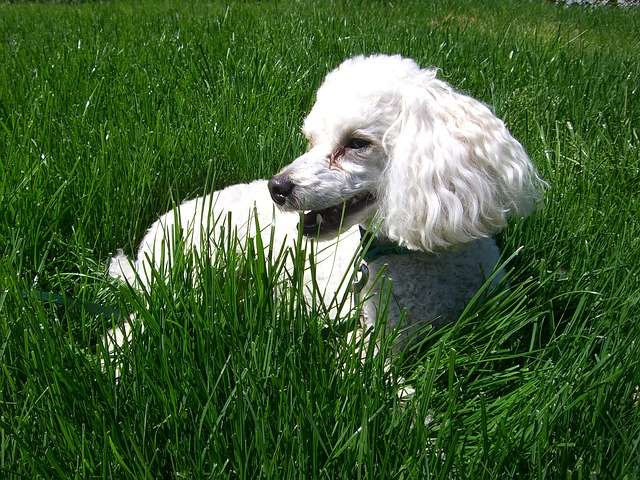 Poodles Are Hypoallergenic And Make Great Apartment Dogs